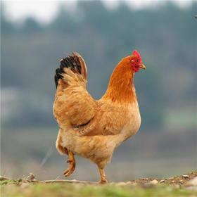 【周期购】散养土鸡 买1年送1个月  每月发1只  过年发2只(共13只) 顺丰包邮