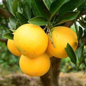 湖南麻阳冰糖橙 皮薄肉多 果小汁甜  5斤(单果 50-60mm)包邮