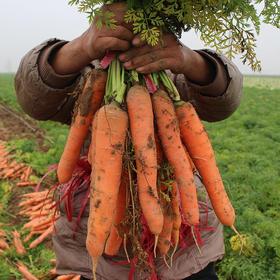 帮卖精选 | 新鲜胡萝卜 补肝明目 清热解毒 生态种植 精挑细选 5斤装 产地直发