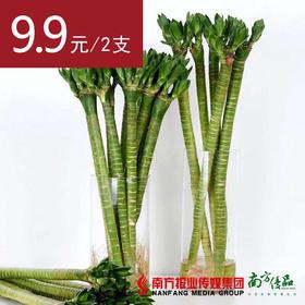 【不含瓶】富贵竹——龙竹 高约40cm