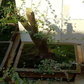 「洋浦」博兰树盆景-贫困户陈升显的扶贫产品