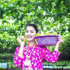 「保亭」芭乐味黄金百香果-保亭加茂辉煌水果种植农业开发专业合作社