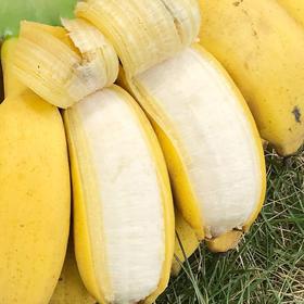 广西南宁 小米蕉 5斤装