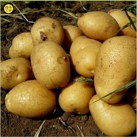 土豆5斤(粉糯)| 河北张家口 野菜夫人农场
