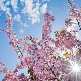 3月 | 2019 | 日本樱花季 岗山+德岛名门高尔夫之旅 | 樱花高尔夫 | 含机票