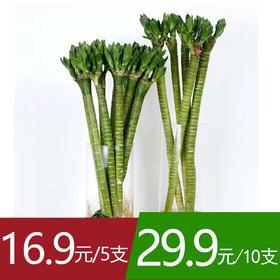 【13号提货】【不含瓶】富贵竹——龙竹 高约40cm