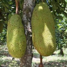 「儋州」菠萝蜜-南农北奉农业发展公司的扶贫产品