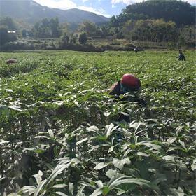 「五指山」黄秋葵-毛道乡周已明黄秋葵收购示范点的扶贫产品