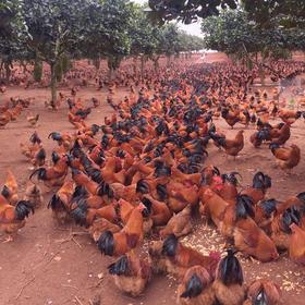「海垦」菠萝蜜鸡-海垦南金农场的扶贫菠萝蜜鸡-不支持线上交易