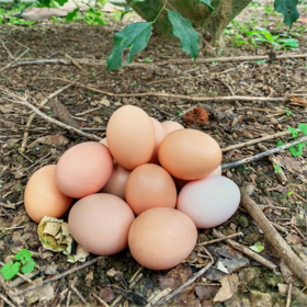 「万宁」山寮鸡蛋-三更罗福众种养专业合作社的扶贫鸡蛋