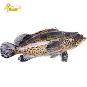 超大石斑鱼(红),又称富贵鱼,