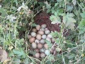 重庆 黔江  野鸡蛋 30枚/盒