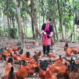 「琼海」山尞土鸡、土猪-石壁贫困户陈雄和坟海忠的产品-不支持线上交易