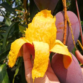 海南贵妃芒果 香甜多汁 皮薄核小 原产地芒果 新鲜采摘 5斤/8斤装