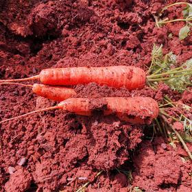 ☆预售☆梓盟2号明星-梓盟孩馋胡萝卜-好吃!好甜!好香!蔬果中的小人参-包邮-有机六零标准