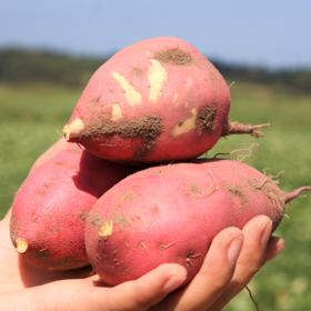 【海南桥头地瓜 5斤】| 地理标志产品-皮薄筋少,粉糯香甜