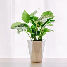 绿萝 |  吸水盆花卉绿植盆栽 室内居家阳台桌面办公室除甲醛净化空气