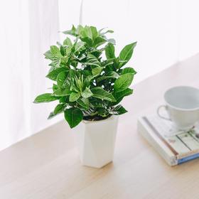 栀子花 | 吸水盆花卉绿植盆栽 室内居家阳台桌面办公室除甲醛净化空气
