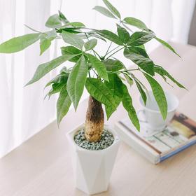 发财树 | 吸水盆花卉绿植盆栽 室内居家阳台桌面办公室除甲醛净化空气