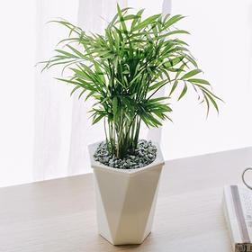 袖珍椰子 | 吸水盆花卉绿植盆栽 室内居家阳台桌面办公室除甲醛净化空气