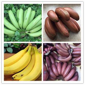 福建香蕉-香、甜、细腻、好吃-5斤-有机六零标准-包邮