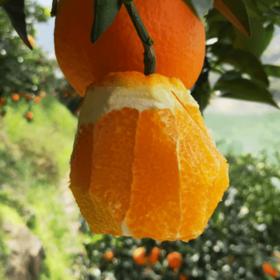 【鲜果上新】10斤装宜昌秭归脐橙丨甜美水润
