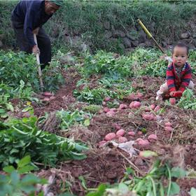 【助农扶贫】云南红皮黄心小土豆   鸡蛋大小 施农家肥