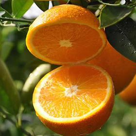 【新鲜上市】5斤装秭归脐橙