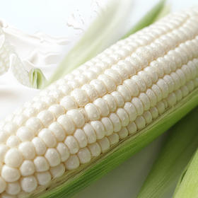 福建 • 牛奶玉米  18°蜜汁鲜牛奶玉米  可生吃的水果玉米  鲜嫩爆浆 甘甜清爽  海南产地直供