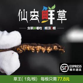 【仙虫鲜草】青海直供鲜虫草丨草王1g/根丨顺丰包邮