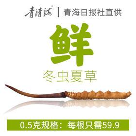 【青海日报直供】2019新鲜冬虫夏草0.5克/根