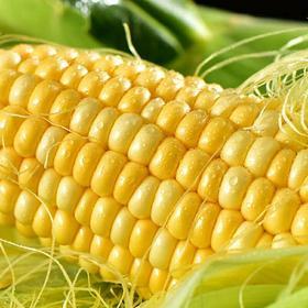 云南水果玉米10斤现摘现发应季新鲜甜玉米棒即食生吃甜脆多汁
