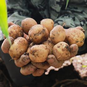 恩施富硒土豆 老式品种马尔科 非转基因 口感软糯 现挖现发