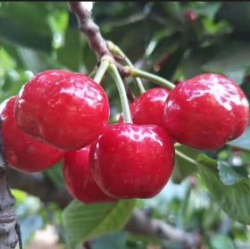 烟台红灯 新鲜采摘 水果5斤 空运