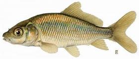 鲤鱼500g