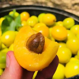 泰安半野生珍珠杏 20°+蜜甜 带皮一起吃 也是如蜜般清甜 手工采摘
