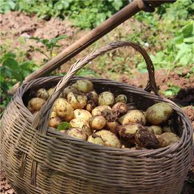 自然农耕  老品种黄心小土豆  5斤装  仅有100份