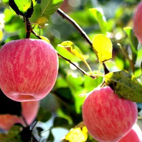 【果语优品】陕西白水 红富士苹果 脆甜可口