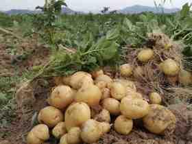 土豆 2019年 自然农耕八年 纯素种植