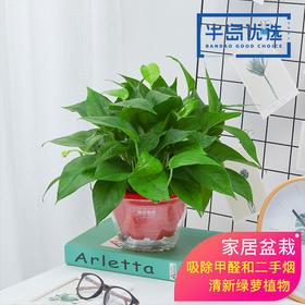 绿航绿萝水培植物绿植花卉盆栽吸甲醛净化空气-180#八角