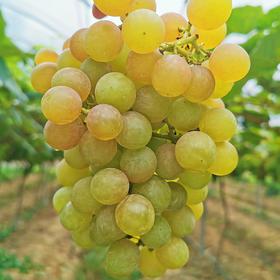 【水果生鲜】寒香蜜葡萄3斤装丨郧阳区子胥湖丨无籽、甜蜜、软滑、细嫩