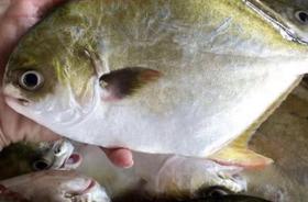 金鲳鱼 500g/袋