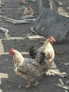 【大来镇庆丰村】遛达鸡每只100元