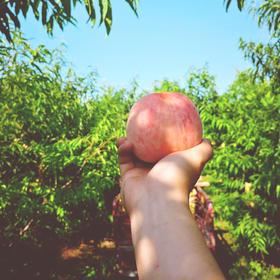 【暴击味蕾的香甜】陕西水蜜桃 香甜粉嫩 皮薄多汁 5斤现摘现发