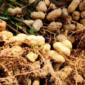 当季上新ㅣ六安白皮花生 色泽金黄 松脆可口 颗粒饱满 味道浓郁 3斤装