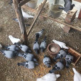 草乳鸽新鲜鸽子苏北农家自家散养土鸽现杀顺丰包邮