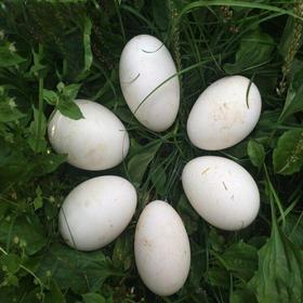 12枚装 苏北农家散养 新鲜鹅蛋 生态散养 土鹅蛋草鹅蛋包邮   预售