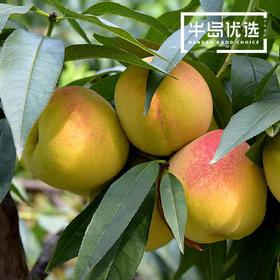麻阳黄桃  新鲜水果  现摘现发 5斤装