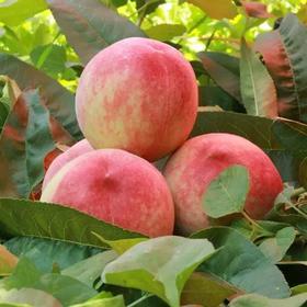 帮扶助农|陕西露天水蜜桃新鲜现摘现发自然成熟 甜蜜到心里的桃子带箱10斤