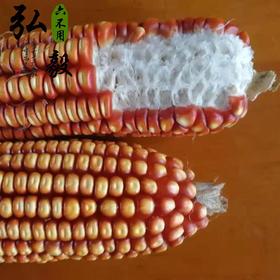 【弘毅六不用生态农场】灯笼红 玉米粒 老品种 1斤/份